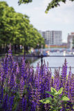 Lavender near the river in the sunlight Stock Photography
