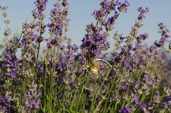 Lavender oil in a stem in the field. Lavender essential oil in a stem in the field stock image
