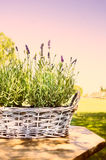 Lavender in old basket on table in garden, toning Stock Image