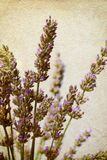 Lavender  in old paper texture Royalty Free Stock Photo