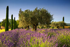 Lavender and Olive Trees Stock Images
