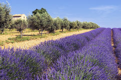 Lavender and olivers field in Provence. Typical lavender and olivers field with stone house Stock Photo