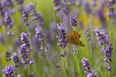 Lavender and orange butterfly Royalty Free Stock Images