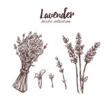 Lavender. Organic beauty. Vector hand drawn illustration. Lavender. Organic beauty and medicine herbs and flowers. Isolated Vector illustration royalty free illustration