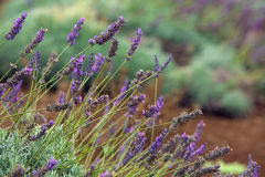 Lavender Outdoors Stock Photos