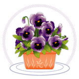 Lavender Pansies. In a square terra cotta flower pot with embossed floral designs Stock Photography