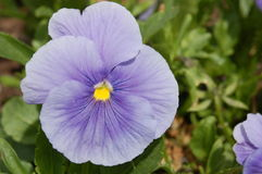 Lavender pansy Royalty Free Stock Photos