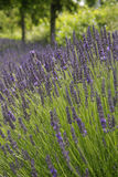 Lavender park Stock Photo