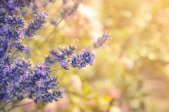 Lavender on pastel background with bokeh Royalty Free Stock Photos
