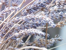Lavender photo dtail Stock Image