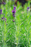 Lavender plant. royalty free stock images