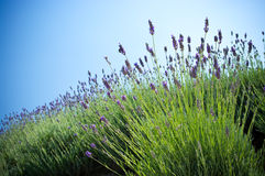 Lavender plant. With blue sky stock images