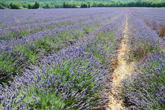 Lavender plant Royalty Free Stock Photos