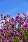 Lavender Plant. Close up Lavender Herbs on a Sunny Day royalty free stock photos