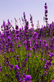 Lavender Plant. Close up Lavender Herbs on a Sunny Day royalty free stock images
