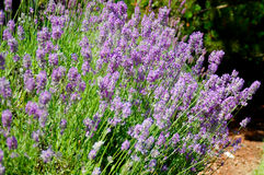 Lavender Plant. In garden royalty free stock image