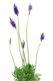 Lavender plant. Growing lavender plant in isolated white background royalty free stock images