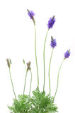 Lavender plant. Growing lavender plant in isolated white background stock photo