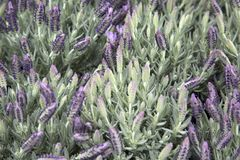 Lavender Plant Background. On Market Stall stock photo