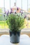 Lavender plant royalty free stock image