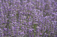 Lavender plant with bees on flowers, field lilac. Lavender lilac flowers in a field with the sun shining down (lavandula angustifolia Stock Photography
