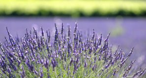 Lavender plant in bloom. Closeup of a lavender plant in bloom. Genus: Lavandula stock image