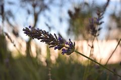 Lavender plant with blur backround. Macro of a lavender plant, violet color in autumn afternoon and blurred background royalty free stock images