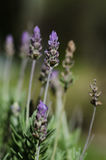 Lavender. Plant in a botanical garden Royalty Free Stock Photography