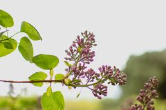 Lavender plant branch. Purple lavender plant with green leaves stock photography