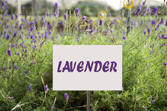 Lavender Plant. Close up of lavender plant in bloom at Cameron Highlands stock images