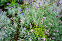 Lavender plant close up. Purple lavender plant close up in urban garden royalty free stock images