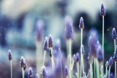 Lavender plant field. Lavandula angustifolia flower. Blooming violet wild flowers background with copy space. Selective. Focus. Blossom and magic spring concept stock photos