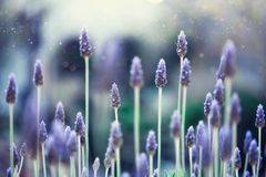 Lavender plant field. Lavandula angustifolia flower. Blooming violet wild flowers background with copy space. Selective. Focus. Blossom and magic spring concept stock photo