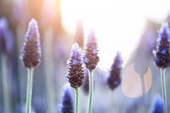 Lavender plant field. Lavandula angustifolia flower. Blooming violet wild flowers background with copy space. Selective. Focus. Blossom and magic spring concept royalty free stock photos
