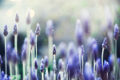 Lavender plant field. Lavandula angustifolia flower. Blooming violet wild flowers background with copy space. Selective. Focus. Blossom and magic spring concept royalty free stock image