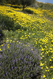 Lavender Plant in Field of Wild Yellow Daisies Stock Photo