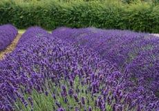Lavender Plant Stock Photos