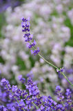 Lavender plant focus on single purple flower stem. Purple flowers on lavender spikes, green background with copyspace, plant has medicinal qualities, health stock photography