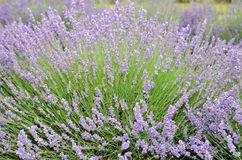 Lavender plant in full bloom. Lavender plant with fragrant purple flowers on long green stems ready for harvest stock images