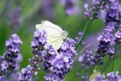 Lavender. Plant in a garden stock photos