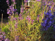 Lavender plant in the garden. Lavender attracting bees in the garden on a summers day Royalty Free Stock Image