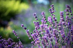 Lavender plant in the garden. Perfumed lavender in the open air. Beautiful background stock photography