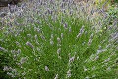 Lavender plant Royalty Free Stock Photo
