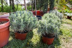 Lavender plant greenhouse. Lavender plant in pots ready for planting in greenhouse stock images