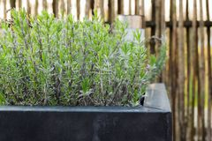 Lavender plant growing in a black quadratic metal flower pot. Leaves are growing green in springtime. Solar lamp and wooden fence in the background stock photo