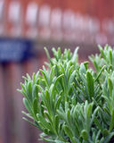 Lavender plant growing in garden. A young lavender plant growing outside in the garden with picket fence in background stock photos