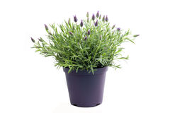 Lavender plant isolated on white Stock Image