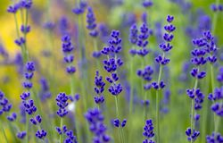 Lavender plant latin Lavandula angustifolia. Close up royalty free stock image