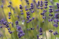 Lavender plant latin Lavandula angustifolia. Close up stock image