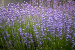 Lavender plant latin. Lavandula angustifolia close up. The Lavender plant latin. Lavandula angustifolia close up stock photos